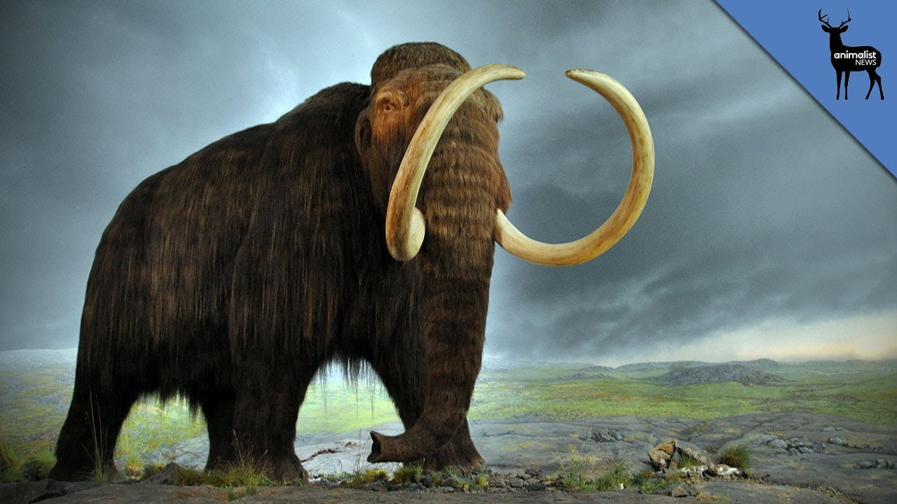the characteristics of the woolly mammoth an extinct species of elephant