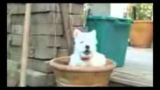 Westie puppy potty training