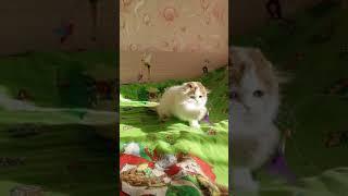 Кошечка хайленд фолд