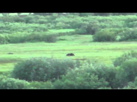 How Fast Can a Grizzly Bear Run?