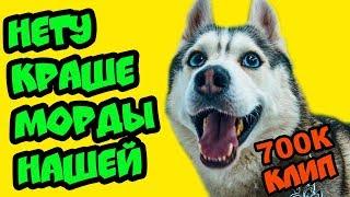 НЕТУ КРАШЕ МОРДЫ НАШЕЙ!! Клип на 700К (Хаски Бандит) Говорящая собака