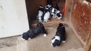 Tibetan terrier puppies!! DOB 21.12.2020.