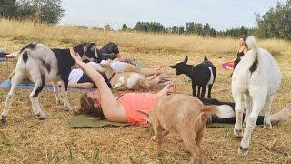 بالفيديو.. «يوجا الماعز».. رياضة طريفة صنعتها الصدفة