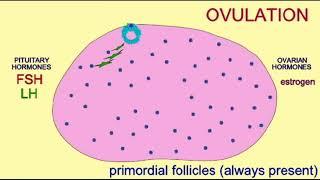 LH & ovulation