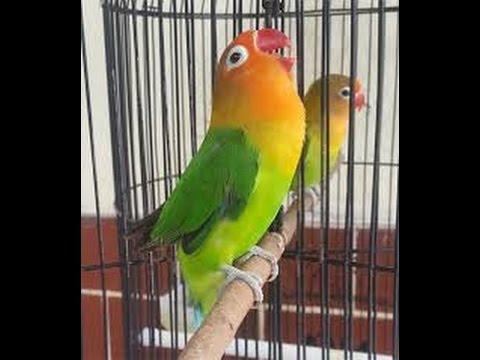 Love Bird Latah Ngekek Cililin Panjang Mantab