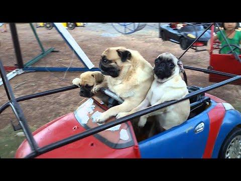 Pug Family Rides The Carousel