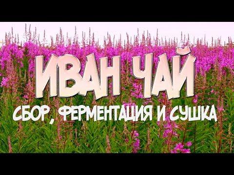 Иван чай заготовка, ферментация, сушка