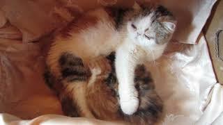 Анфиса - экзотическая кошка с котятами