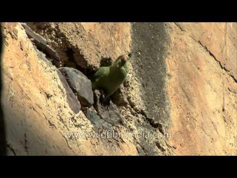 Male Rose-ringed Parakeet feeding baby Parakeet