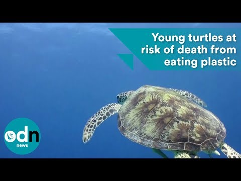 Young turtles more at risk of death from eating plastic