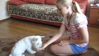 видео Собака Вест хайленд уайт терьер: описание породы, фото, цена щенков, отзывы