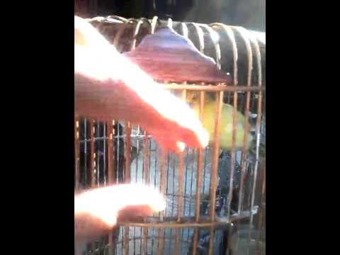 Burung Cito sakit jilid 1