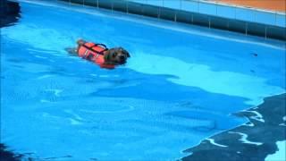 ノーフォークテリア・リロ、Woof(ワフ)のプールは初めて。泳ぐことは...