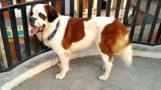 Saint Bernard, Labrador , rottweiler, gaddi,bull mastiff puppies for sale