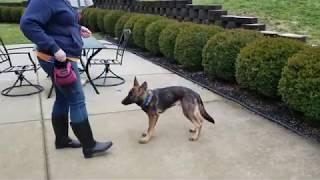 Jax puppy pre school 2, K9 Unleashed, German Shepherd Puppy