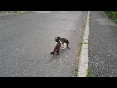 Two Cats Fight. Funny Videos