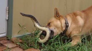 Funny Dog Video Kill Snake New 2014