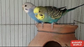 BUDGIES MEIN MALE OR FEMALE KI PEHCHAN | DIFFERENCE B/W MALE AND FEMALE BUDGIES IN URDU