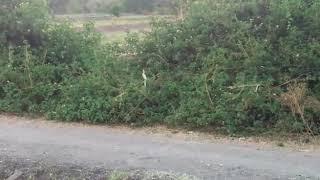 Chaukane wala