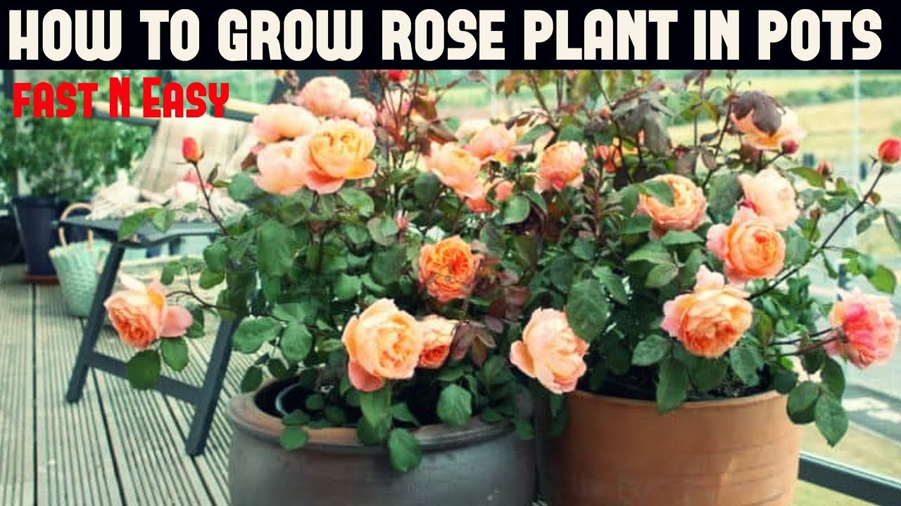 How To Grow Rose Plant Fast N Easy
