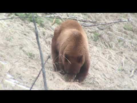 Cinnamon Black Bear - Yellowstone 2019