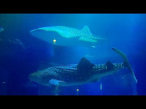 """【ジンベイザメ】 海遊館 大水槽の動画映像12時間 - """"Whale sharks"""" (central tank of osaka aquarium """"KAIYUKAN"""" 12hours)"""