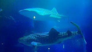 【ジベザ】 海遊館 大水槽の動画映像12時間  'Whale sharks' (central tank of osaka aquarium 'KAIYUKAN' 12hours)