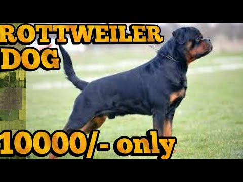 Rottweiler For Sale Youtube