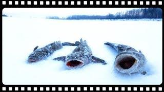 Подборка удачных моментов на рыбалке жерлицы зимой