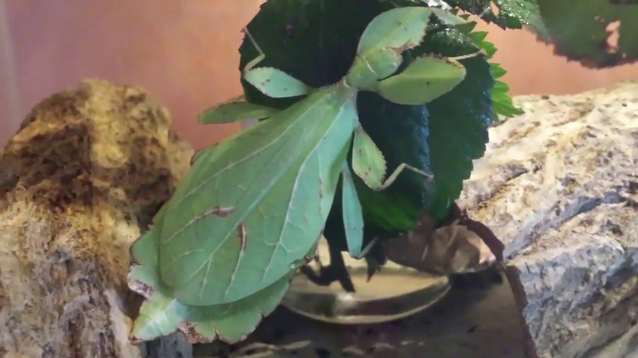 Wandelnde Blätter