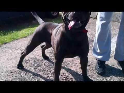 American Bulldog X Pitbull Part 2