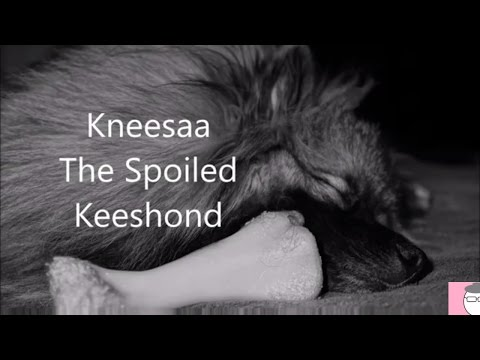 Kneesaa - The Spoiled Keeshond - MeeMaw The Geeky Granny
