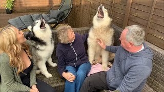 ALASKAN MALAMUTES SO EXCITED TO SEE GRANDPARENTS