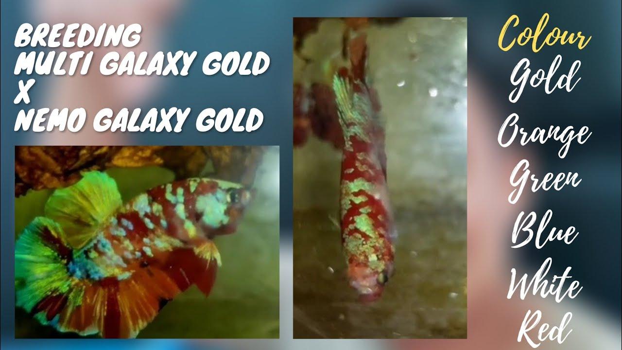 "Breeding BETTA FISH ""QUALITY"", GOLD SERIES,,,"