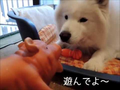 サモエド クローカ 「鳴り物おもちゃ二択問題」 (samoyed kloka)