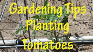 Gardening Tips: Planting Tomatoes (Ep 8)