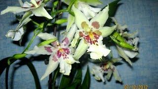 видео Орхидея не цветет что делать.
