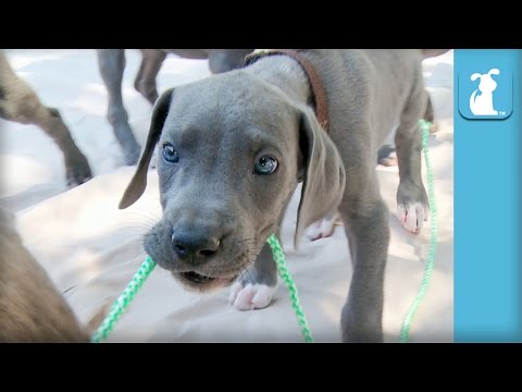 13 Great Dane Puppies Tug-Of-War (COMPLETE CHAOS!) - Puppy Love