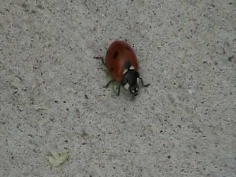 Seven-spotted Lady Beetle (Coccinellidae: Coccinella septempunctata) Moving
