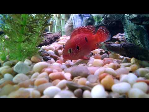 Jewel cichlid laying eggs