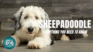 Sheepadoodle Dog Breed Guide | Dogs 101  Sheepadoodle