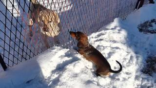 Jamnik Bax  (wersja zimowa) vs labrador