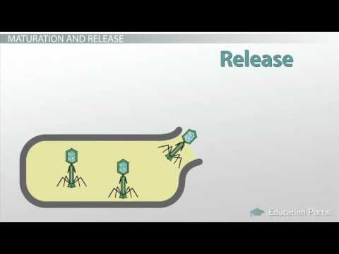 The Life Cycle of a Virus  How Viruses Live, Attack   Replicate   Video   Lesson Transcript   Study