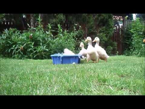 Ducks party rock in the garden