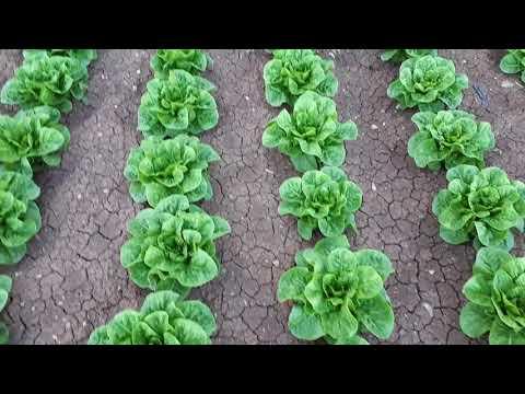 MARUL YETİŞTİRME BALCIOĞLU TARIM 05424610338 KONYA KASINHANI lettuce production