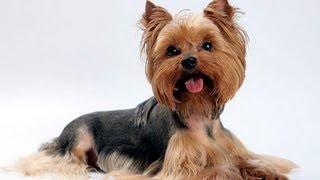 Йоркширский терьер. Породы собак