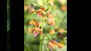 ЭПИПАКТИС,  или  ДРЕМЛИК  (EPIPACTIS)  сем. Орхидные
