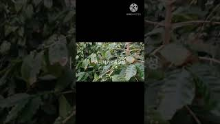 커피나무 재배기술 가지치기 방법
