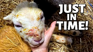 WHY IS THIS LAMB'S HEAD SO SWOLLEN?: Vlog 315