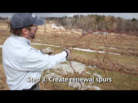 Four Arm Kniffin System for Growing Grapes